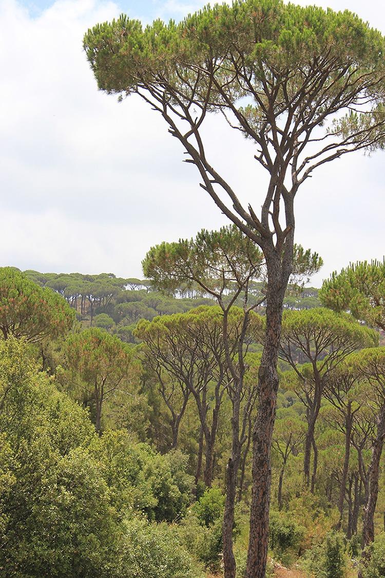 UMBRELLA PINE FORESTS