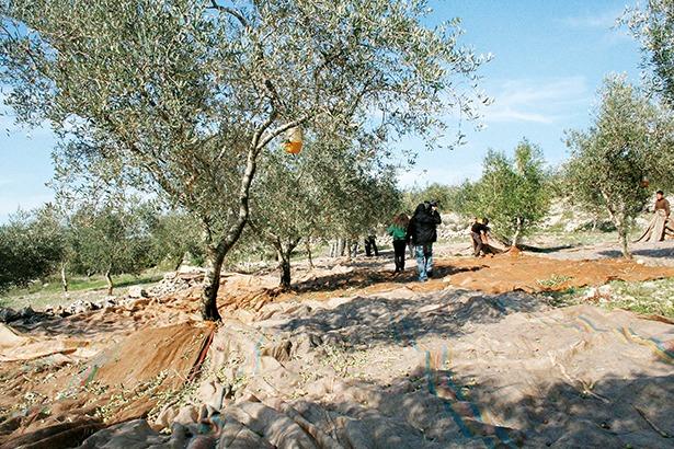 The-olive-oil-trail-lebanon-traveler