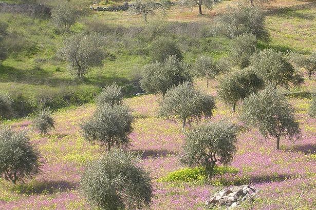 olive-tree-lebanon-traveler