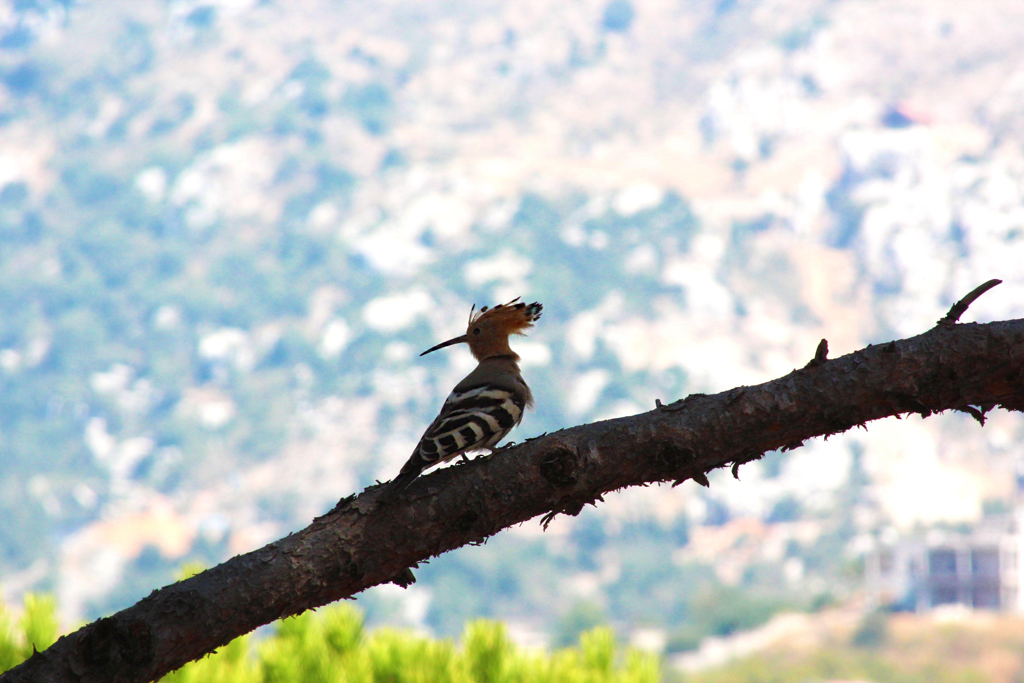 Hoopoe-Bois-de-Boulogne-lebanon-traveler