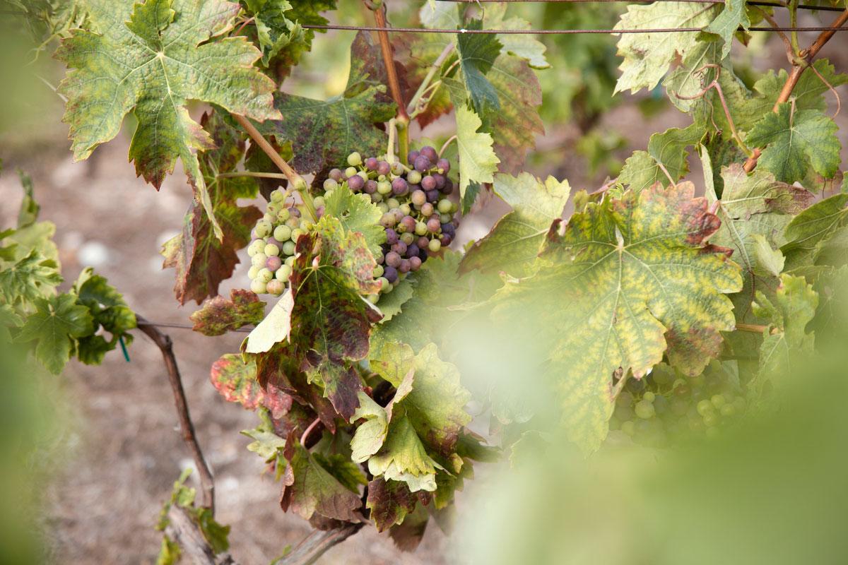 ixsir-winery-lebanon-traveler-grapes-vineyards-wine