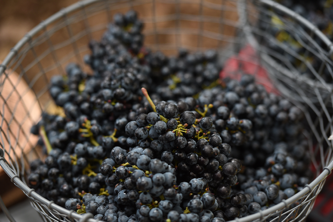 grapes-karam-wines-lebanon-traveler